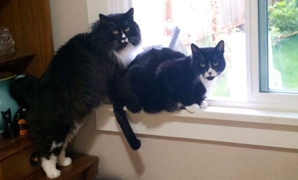 Tuxedo kitties in window