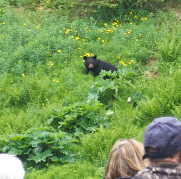 We saw this black bear as we were getting off the tram in the Alyeska Resort near Girdwood, AK.