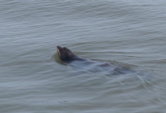 Very noisy little seal