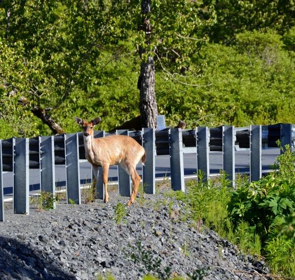 Deer, Kodiak, Alaska