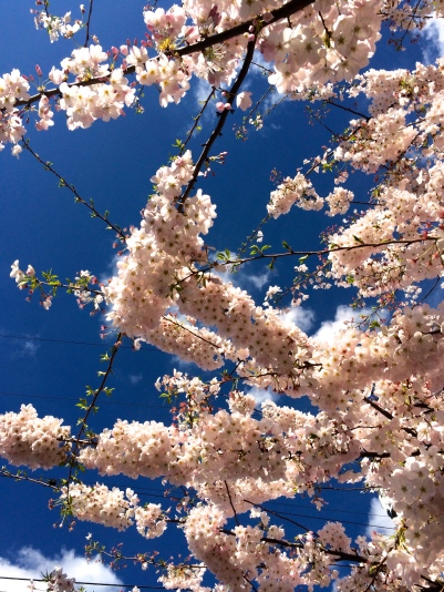 Cherry blossoms, PDX